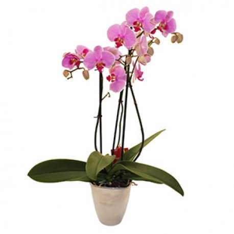Elegant Orchid in a Pot